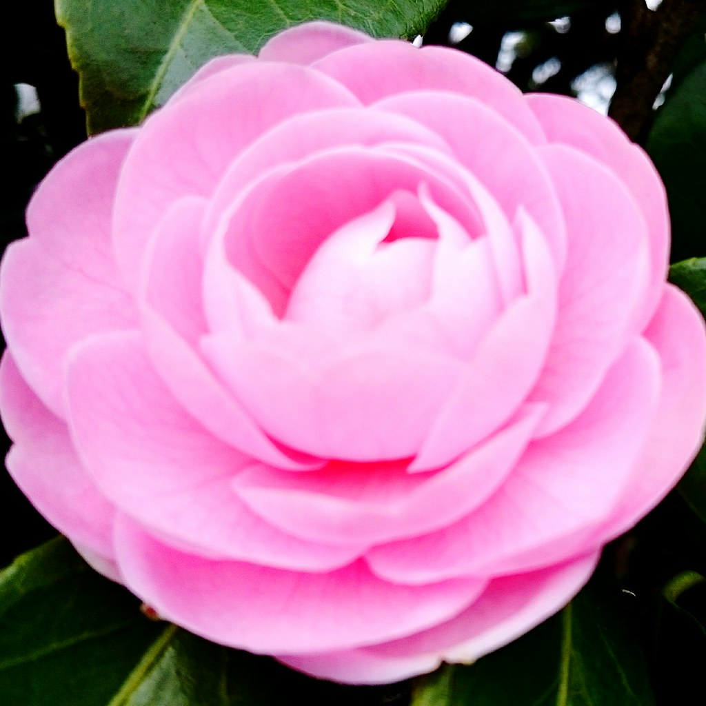 Fiori Bianchi Simili A Rose.Fiore Simile A Rosa Per Ogni Evenienza Frasibelle It