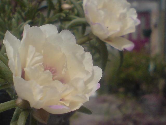 Fiori Bianchi Simili A Rose.Fiori Bianchi Simili A Rose Frasibelle It