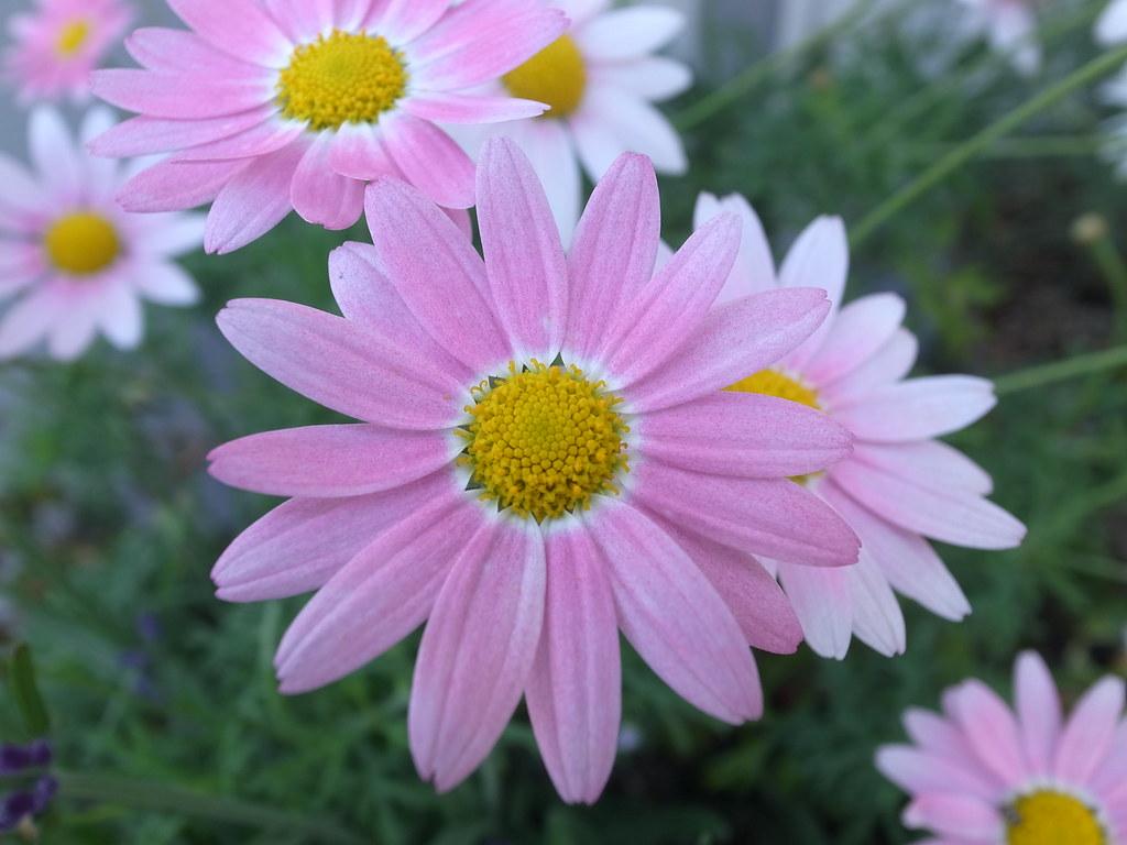 Fiori Belli.Fiori Rosa Con Centro Giallo Molto Belli E Delicati Frasibelle It