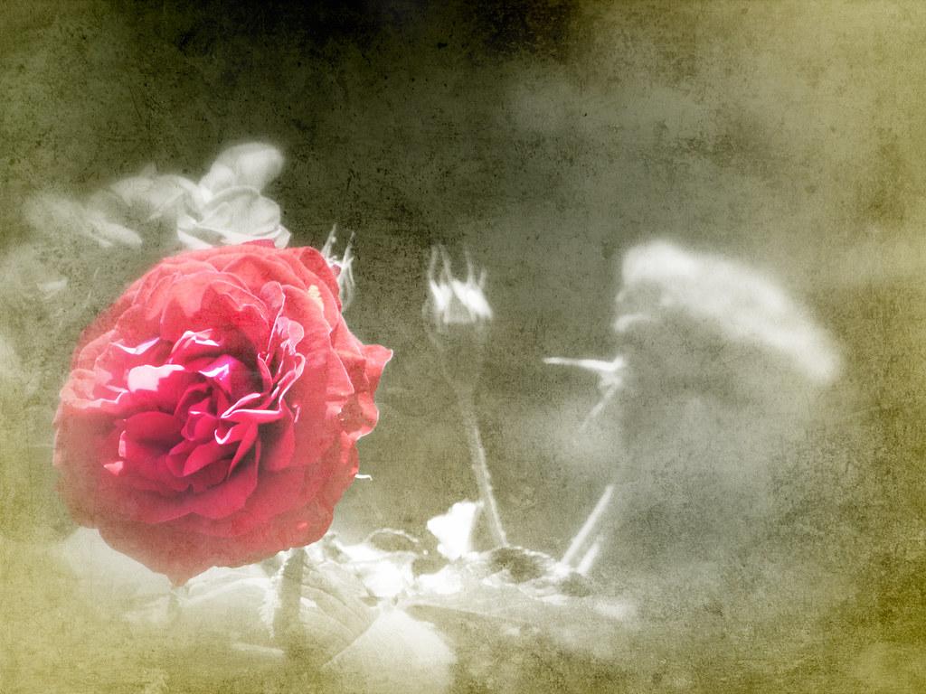 Rosa Con Sfondo Bianco E Verde Sfocato Frasibelleit