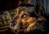 Immagine sguardo Bellissimo cane in primo piano con sguardo tenero