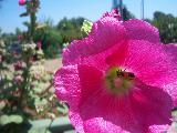 Fiore color fucsia in primo piano con ape al centro