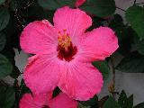 Immagine cinque Fiore fucsia con cinque grossi petali
