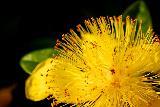 Immagine particolare Fiore giallo molto particolare con specie di aculei