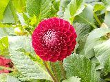 Immagine particolare Fiore molto particolare di colore rosso con petali disposti a celle