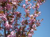Immagine vedere Fiorellini rosati su rami molto belli da vedere