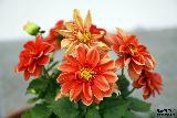 Immagine meravigliosi Fiori con meravigliosi petali arancioni che appaiono carnosi