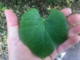 Immagine mano Foglia verde a forma di cuore in mano
