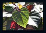 Immagine bene Foglia verde bene illuminata a forma di cuore rovesciato
