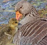 Immagine momenti Momenti di tenerezza tra piccolo uccello e sua madre