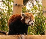 Immagine tanto Panda rosso paffutello tanto dolce nel Jardin des Plantes di Parigi