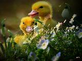 Immagine primavera Pulcini tenerissimi nel prato fiorito a primavera