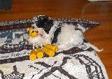 Simpatico cagnolino che gioca con buffo pupazzo giallo